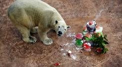 Inuka, the first polar bear born in the tropics eats his birthday cake in 2013 (Wong Maye-E/AP)