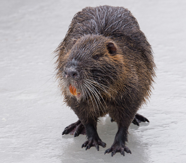 Michele Marchi said coypu meat 'is almost better than rabbit.' Photo: Citellus Photography