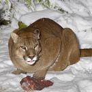 Cougars are also known as pumas or mountain lions (Shepreth Wildlife Park/PA)