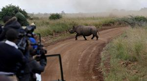 Kenya Wildlife Service workers watch a female black rhino cross a road during a transfer exercise. Photo: Baz Ratner/Reuters
