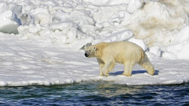 A polar bear dries off after taking a swim in the Chukchi Sea in Alaska (Brian Battaile/AP)