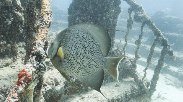 A large grey angelfish swims near a stairway at the Neptune Memorial Reef (Wilfredo Lee/AP)