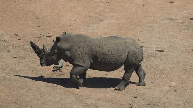 A rhino running free in Kruger National Park (Paul Edwards/Sun/AP)
