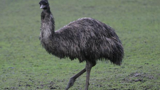 File picture of an emu (Martin Rickett/PA)