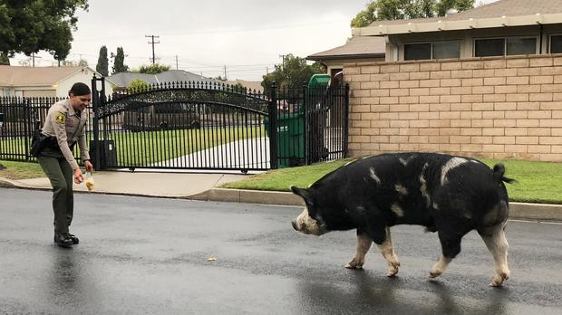 An officer uses Doritos to lure the pig back home (San Bernardino County Sheriff's Department via AP)