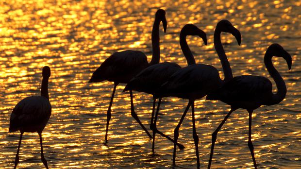 Flamingos search for food in Israel (Ariel Schalit/AP)
