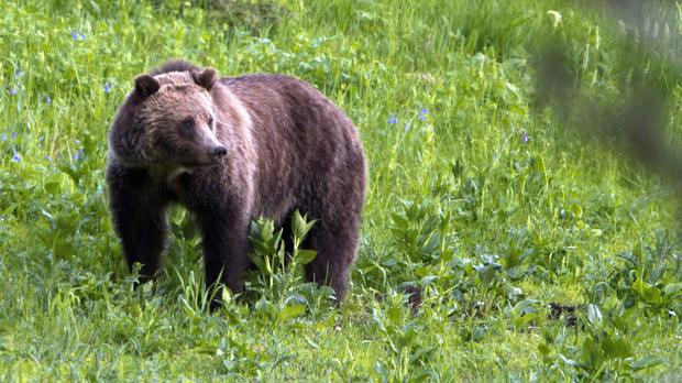 A grizzly bear was responsible for their deaths. Stock image: Jim Urquhart/AP