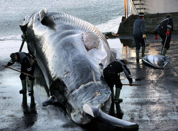 National pride: Japan will resume whaling activities on a commercial scale from July. Photo: AP