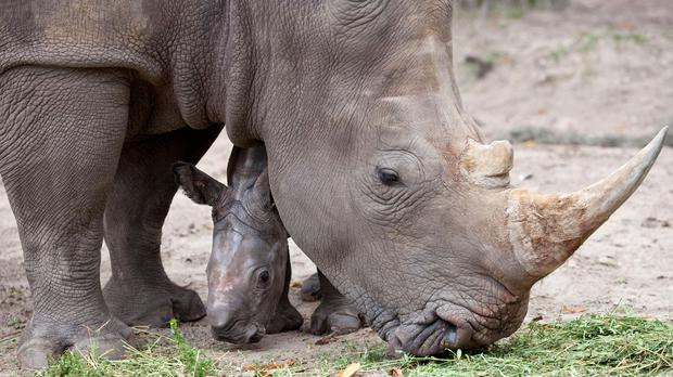 Officials at the zoo on Florida's Space Coast say a rhino's snout touched the girl before she was retrieved (PA)