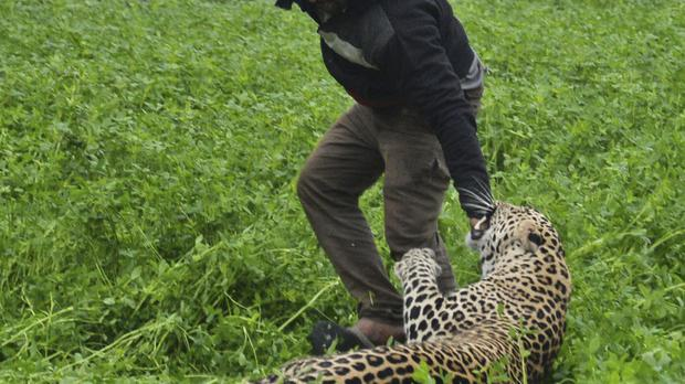A leopard attacks a man after straying into a residential area in Jalandhar, India (AP)
