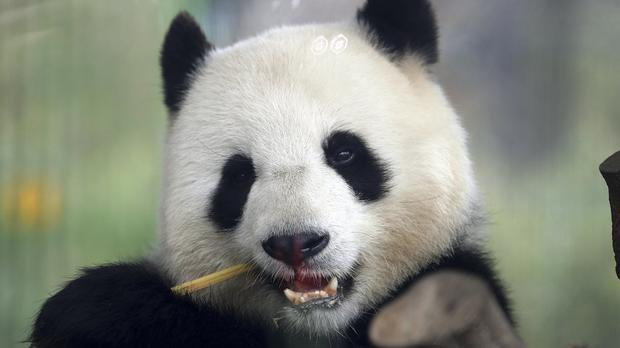 China's 'panda diplomacy' initiative has been popular over the years (AP Photo/Michael Sohn)