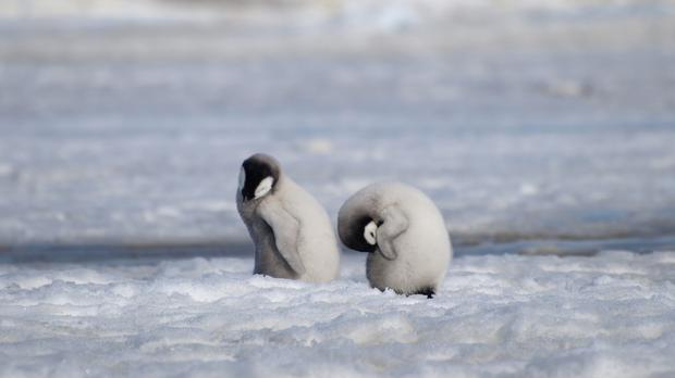 Emperor penguin chicks at Antarctica's Halley Bay (Peter Fretwell/British Antarctic Survey/AP)