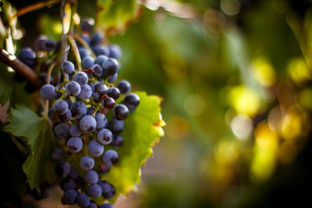 Close relationship: Ancient wines not identical, but close to modern varietals