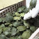 Customs officials display seized turtles (AP Photo/Vincent Thian)