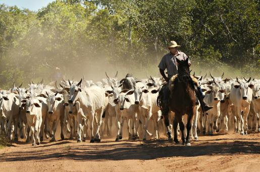 BUSINESS DRIVE: A Brazilian farmer leads a herd of cattle which could soon be butchered and on sale in Europe
