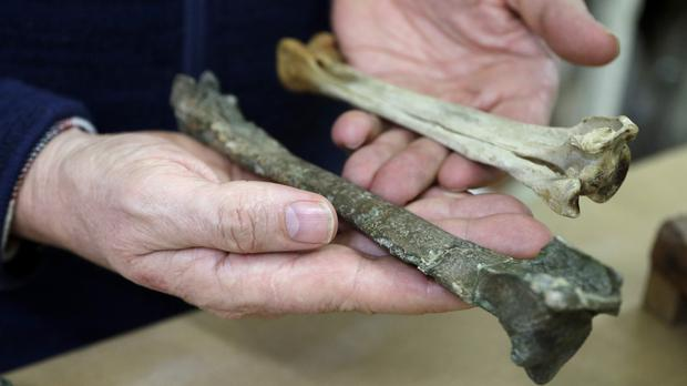 Dr Paul Scofield holds the fossil next to a similar bone of an emperor penguin (Mark Baker/AP)