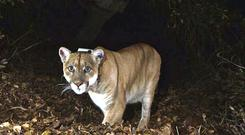 A boy was attacked by a mountain lion in Colorado (National Park Service, via AP, File)