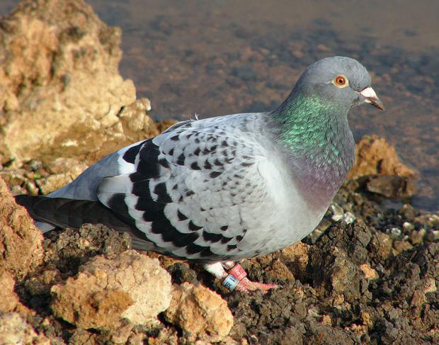 Pigeons helped intelligence gathering