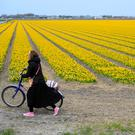 A tourist pushes her bicycle after taking pictures in a flower bulb field in Lisse, Netherlands. AP photo