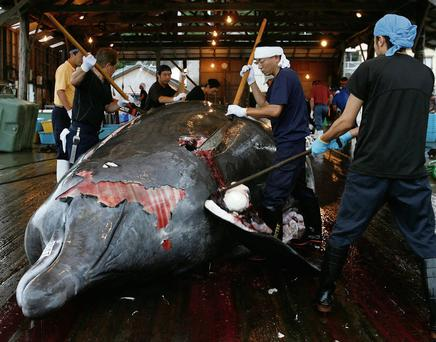 Japan's capture of animals like this Baird's beaked whale is no longer allowed according to a new ruling by the UN that the whaling is not for scientific purposes