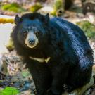 Asiatic Black Bear Photo: Getty