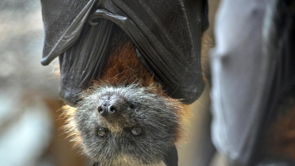 Scientists were planning to release enhanced airborne coronaviruses into Chinese bat populations to inoculate them against diseases that could jump to humans