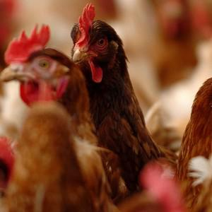 The H7N9 virus has made its home in chickens