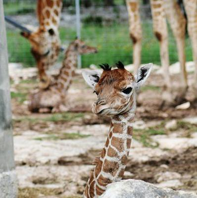 A giraffe cares for her twins shortly after their birth in Texas (AP/Natural Bridge Wildlife Ranch, Tiffany Soechting)