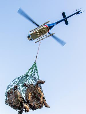 A helicopter transports tortoises near Wolf Volcano on Galapagos Islands (Tui De Roy/Galapagos National Park/AP)