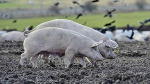 Experiments where pigs were shot in the head have been condemned by an animal rights group