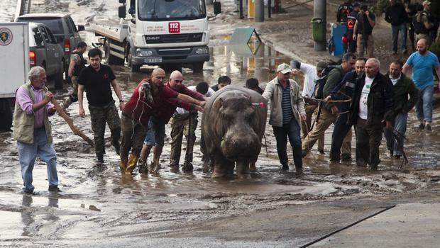 People help move a hippopotamus from a flooded zoo in Tbilisi, Georgia (AP)