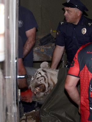 A policeman stands next to a white tiger killed by police in Tbilisi, Georgia – the tiger had earlier mauled a man to death