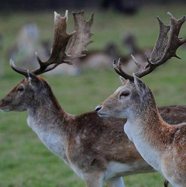 Warning: Deer numbers 'out of control' in Wicklow