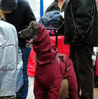 An Afghan dog arrives wearing a coat on the first day of Crufts 2013 at the NEC, Birmingham
