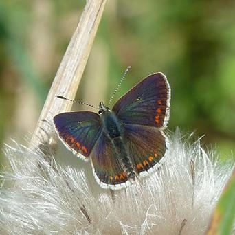 Numbers of the brown argus were down by 73 per cent (Nick Edge/Butterfly Conservation/PA)