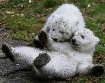 Spring has sprung has these twin polar bear cubs are anxious to show that they have got each other's backs as they play outside in their enclosure at Tierpark Hellabrunn in Munich. REUTERS/Michael Dalder