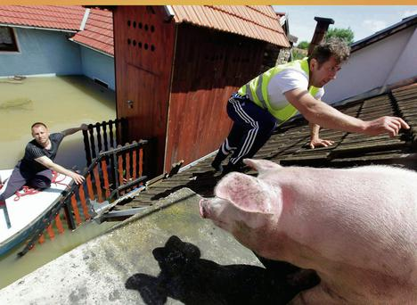 A man climbs on a roof to feed pigs rescued from flood waters in Vojskova, Bosnia.