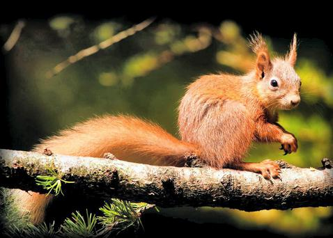 The red squirrel one of the many animals now under threat.