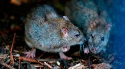 Two rats gather in a shrub at the Saint Jacques Tower park, in the center of Paris, Friday, Dec. 9, 2016. Paris is on a new rampage against rats, trying to shrink the growing rodent population. (AP Photo/Francois Mori)