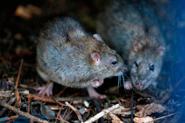 Two rats gather in a shrub at the Saint Jacques Tower park, in the center of Paris, Friday, Dec. 9, 2016. Paris is on a new rampage against rats, trying to shrink the growing rodent population. Photo: AP Photo/Francois Mori