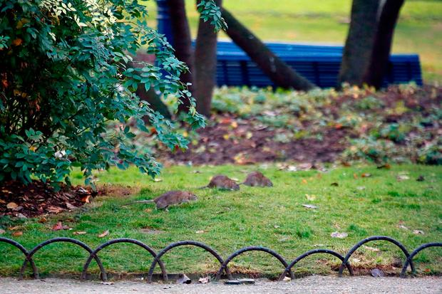 Paris is on a new rampage against rats, trying to shrink the growing rodent population. Photo: AP Photo/Francois Mori