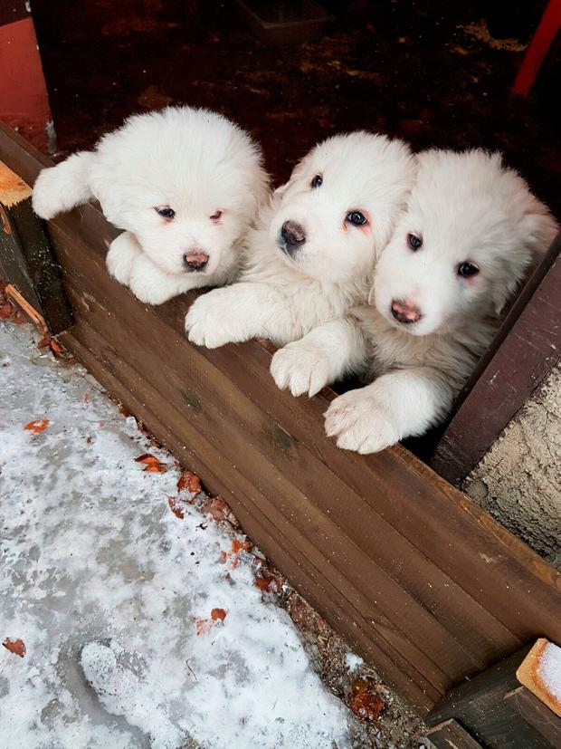 Three puppies stay close to each other at the Hotel Rigopiano, near Farindola, central Italy, a day before an avalanche buried the hotel. Rescue crews say they have found three puppies alive in the rubble of an Italian mountain hotel slammed by an avalanche. (Marisa Basilavecchia via AP)