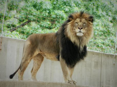 Stock image of lion Photo: Getty Images