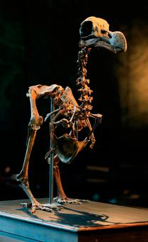 The 95 per cent finished composite skeleton has been painstakingly constructed by a man who started buying bones from private collections and auctions in the 1970s. Photo: Gareth Fuller/PA Wire