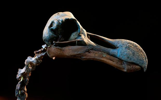 An almost complete Dodo skeleton at Summers Place Auctions in Billingshurst, West Sussex, which is expected to fetch up to £500,000 next week, auctioneers predict. Photo: Gareth Fuller/PA Wire