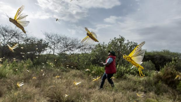 Desert locusts jump up from the ground and fly away as a cameraman walks past, in Nasuulu Conservancy (Ben Curtis/AP)
