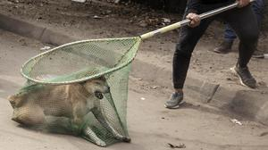 Dogcatchers and vets catch dogs to give them rabies shots in Cairo, Egypt (Nariman El-Mofty/AP)