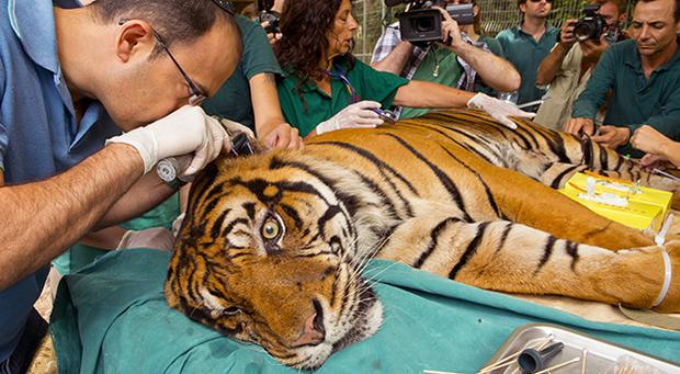 Pedang, a male Sumatran tiger, who is 14-years old and suffering from chronic ear infections, is given acupuncture treatment at the Ramat Gan Safari, an open-air zoo, near Tel Aviv