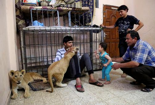 Saduldin Al-Jamal, 54, left, and his son Ibrahiml, 17, and his his grandson, Malak, 7 months, play with lion cubs Mona and Max, at his family house in Rafah refugee camp, in the southern Gaza Strip. Saduldin al-Jamal had bought the cubs from the Gaza zoo, hit during last summer's Israel-Hamas war. His family would take them to parks or the beach and children - those brave enough - would come up to pet them.