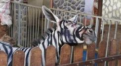 A zoo in Gaza revealed in the past that it had painted two donkeys because it was too difficult to bring actual zebras past the Israeli and Egyptian blockade.